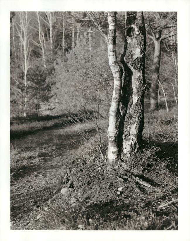 Eine junge Birke hat sich frech gleich neben einer älteren platziert. Die beiden Bäume müssen sich arrangieren, wollen sie gemeinsam noch größer werden.